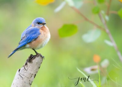 Eastern Bluebird in the Meadow 12x18 Plaque Mount $110