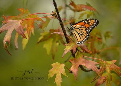 Monarch on a Colourful Leaf 12x18 Plaque Mount $110